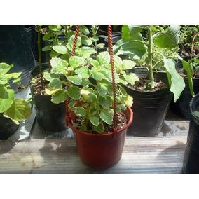 finest aromtica sol o sombra cultivo en suelo maceta o colgante with plantas colgantes exterior sol - Plantas Colgantes Exterior