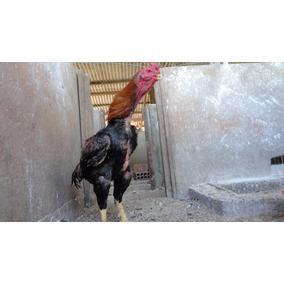 Indio Shamo (ovos Galados) Cruzamento Com Bico Curto
