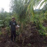 Palmeira Imperial - Muda