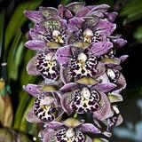 10 Sementes De Orquídeas Cymbidium Para Vaso Jardins E Muda