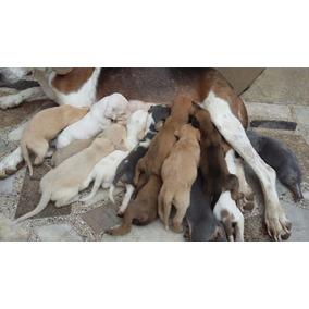 Doando Cachorinhos Americano Com Vira Lata (doação)!!