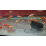 Peces De Agua Fria Goldfish Y Cometas