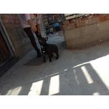 Bulldog Frances Cachorros