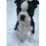 Perros Cachorros Boston Terrier Machos Y Hembras