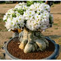 Venta Caliente 25 Unid Blanco Plantas Bonsai Desert Rose Sem