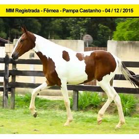 Jovem Fêmea Mangalarga Marchador - Pampa Castanho. Linda!
