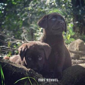 Labrador Retriever Chocolate Pedigree Cbkc Olhos Claros
