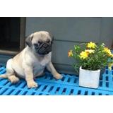 Pug Cachorros Mini.cortos Excelen Genetica.fotos Actuales
