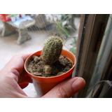 Cactus Echinopsis Oxygona Maceta 6