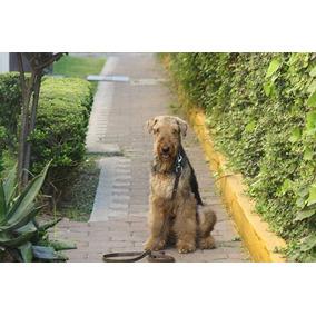 Busco Novía Airedale Terrier 2anos 11meses, Noble Y Juguetón