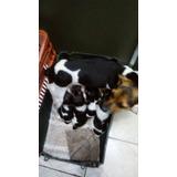 Vendo Filhotes De Fox Paulistinha Terrier Tricolor Desmamado