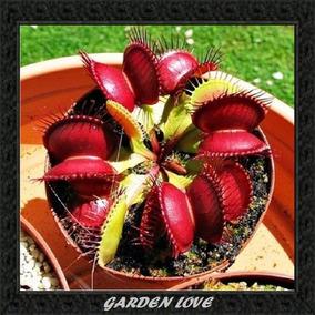 Sementes De Planta Carnívira Dionaea Para Mudas + Brinde
