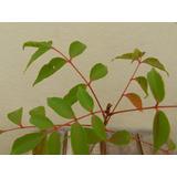 Arbol Pre Bonsai Acer Palmatum - Rhus