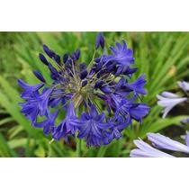 Bulbo De Agapanto Azul ( Agapanthus Africanus ) Rizoma*