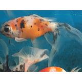 Goldfish Llamagatas Y Cometa Ver Descripción