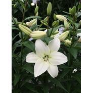 Bulbos De Lilium X1 Bulbo Asiático/oriental Alto/enano Impor