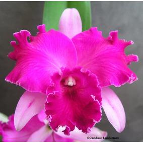 Super Kit Com 3 Mudas De Orquídeas Belíssimas!