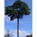 40 Sementes De Jequitibá-rosa ! Rara Árvore Nativa!