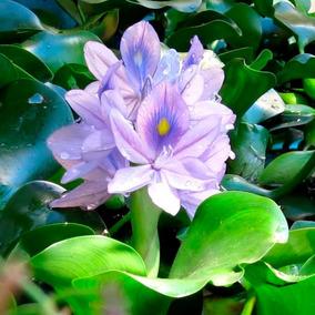 Aguapé Pequena Jacinto Lagos Aquaporia Orquídea Dágua
