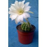 Cactus Echinopsis Subdenudata 10 Cm De Diametro Aproximad.