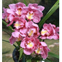 Muda De Orquídea Cymbidium Pink - 10 A 15cm - Promoção!