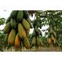3000 Sementes De Mamao Formosa Maxdiver # Envio Já