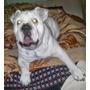 Bulldog Ingles Blanco Para Maquila