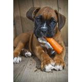 Boxer Cachorros Linea Europea Super Calidad Vip