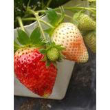Plantas De Fresas Orgánicas Regala Una Mata Frutal Jardín