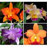 Pacote 10 Orquídeas Da Copa Com 5 Brindes