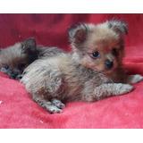 Cachorros Chihuahua Pelo Largo Mini Fca