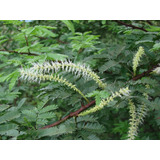 50 Sementes Para Plantio De Jurema Preta Mimosa Hostilis