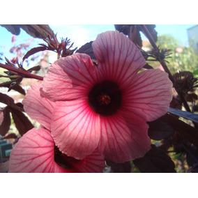 Cranberry Hibisco Hibiscus Acetosella Flor Sementes P/ Mudas