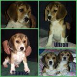 Cachorros Beagles De 13
