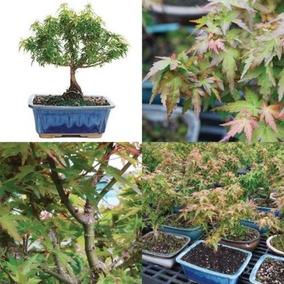 Bonsai Tree Kotohime Maple Japanese Plant Hooseplan Small L