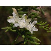 Rhipsalis Mesembryanthemoides Rara! Corte De Planta Adulta