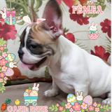 Bulldog Francês Lindos Filhotes - Parcelamos Em Ate 12x
