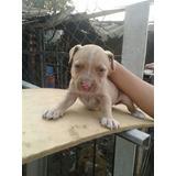 American Pitbull ..cachorros