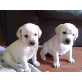 Labradora Retriever 100% Puras