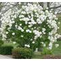 Hermosos Arbustos, Bola De Nieve!!!
