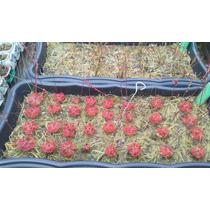 50 Sementes De Planta Carnivora - Drosera Burnanni Red