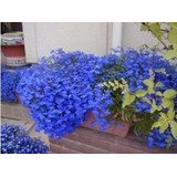 200 Sementes De Lobélia Azul P/ Mudas Flores Jardim E Vaso