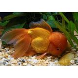 Goldfish Oranda, Dragón Eye,cabeza De Leon Reproductor