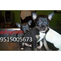 Cachorro Perro Chihuahua En Adopcion