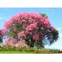 Promoção 5 Mudas Paineira Rosa Arvore Flores Tam. 30 Cm.