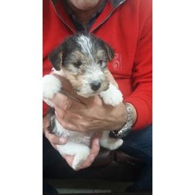 Athos Fox Terrier Wire Con Pedigree Fca (para Entregar)