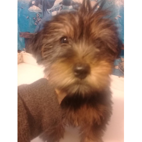 Yorkshire Terrier Negro Y Marron