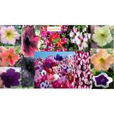 Plantas De Jardín Petunias Oferta Día De Las Madres