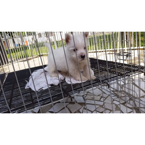 Filhote Femea De West Highland White Terrier