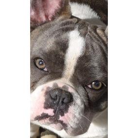 Bulldog Frances Padreador